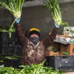 farmer processing fennel
