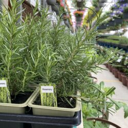 rosemary herb in planter at farmers market